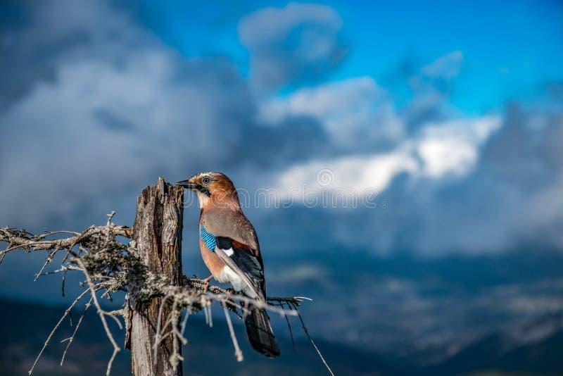 Eurasiático Jay Garrulus Glandarius en un cielo azul del fondo imágenes de archivo libres de regalías