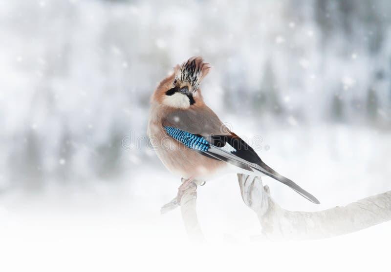 Eurasiático Jay que se encarama en la rama de árbol mientras que nieva foto de archivo