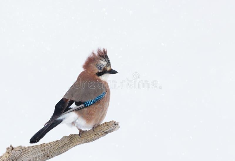 Eurasiático Jay que se encarama en una rama de árbol en invierno imagen de archivo