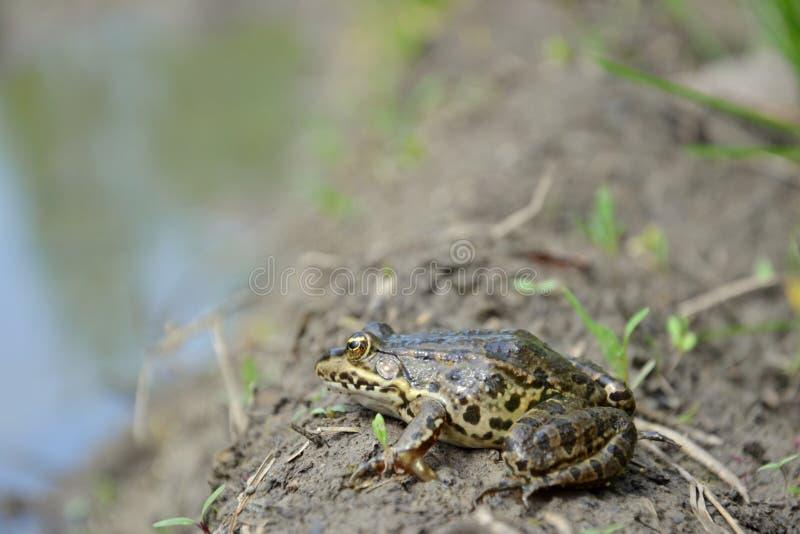 Eurasiático Marsh Frog imagen de archivo