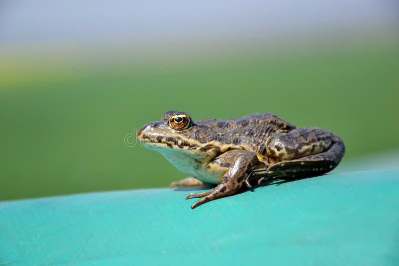 Eurasiático Marsh Frog imágenes de archivo libres de regalías