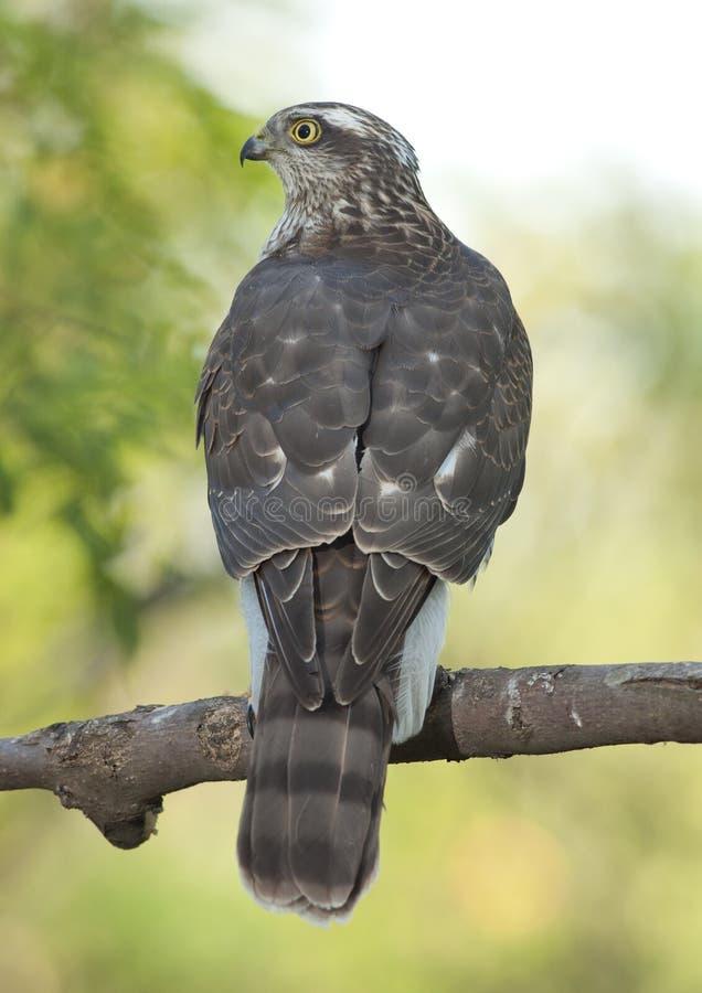 Eurasiático Sparrowhawk (Accipiter Nisus) imagenes de archivo