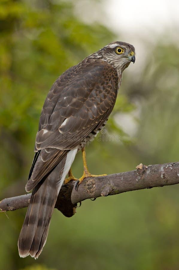 Eurasiático Sparrowhawk (Accipiter Nisus) fotos de archivo libres de regalías