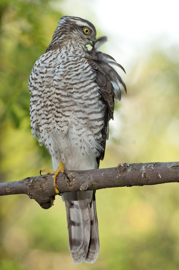 Eurasiático Sparrowhawk (Accipiter Nisus) foto de archivo libre de regalías