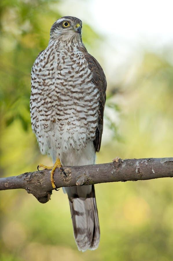 Eurasiático Sparrowhawk (Accipiter Nisus) fotografía de archivo libre de regalías