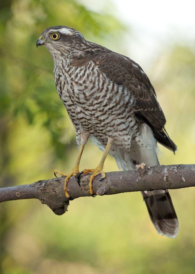 Eurasiático Sparrowhawk (Accipiter Nisus) fotos de archivo