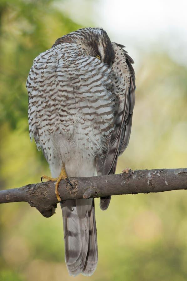 Eurasiático Sparrowhawk (Accipiter Nisus) fotografía de archivo