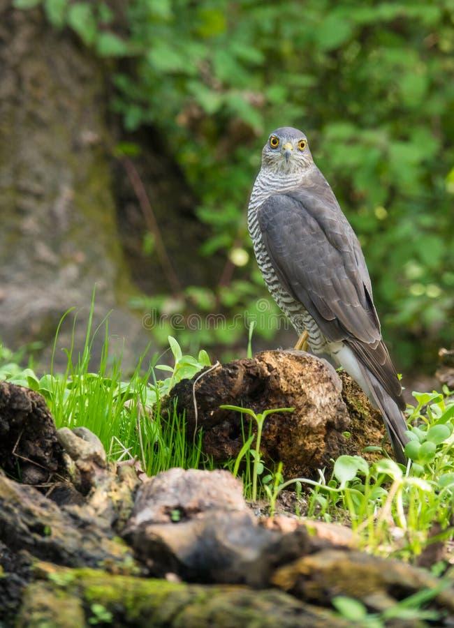 Eurasiático Sparrowhawk que se encarama en registro foto de archivo