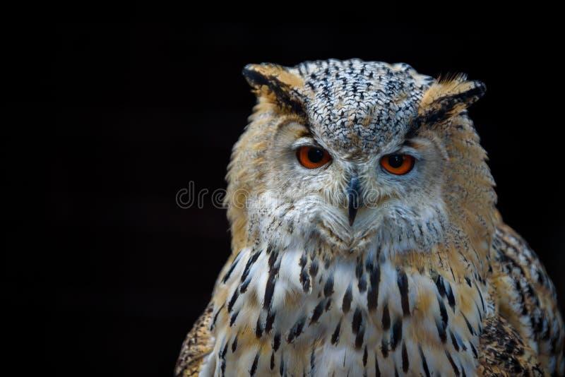 Eurasi?tico Eagle Owl (bub?n del bub?n) que se sienta en el toc?n, primer, foto de la fauna imagen de archivo libre de regalías