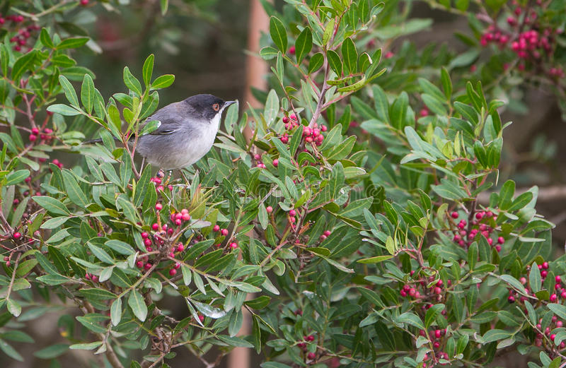 Eurasia Blackcap. A male Eurasia Blackcap (Sylvia atricapilla) perched on a bush with wild berries, during wintertime many insectivorous birds of Europe survive royalty free stock photography