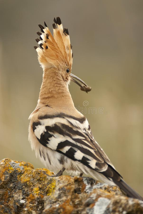 Eurasia Hoopoe or Common Hoopoe Upupa epops, with a beetle. In its beak royalty free stock images