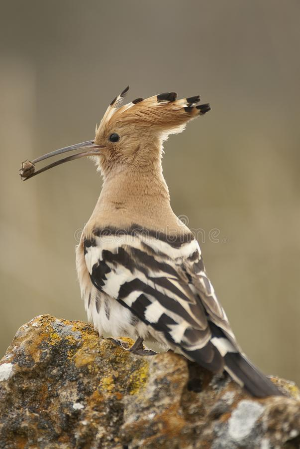 Eurasia Hoopoe or Common Hoopoe Upupa epops. With a beetle in its beak royalty free stock images