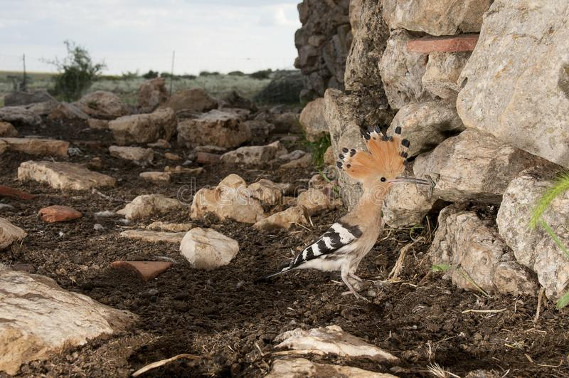 Eurasia Hoopoe or Common Hoopoe Upupa epops. Entering the nest in an old hut royalty free stock images