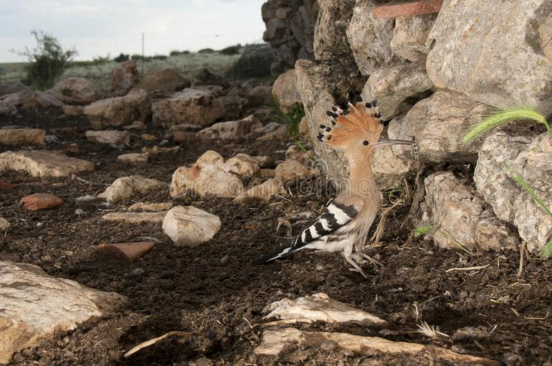 Eurasia Hoopoe or Common Hoopoe Upupa epops, entering the nest. In an old hut royalty free stock images