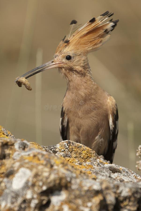 Eurasia Hoopoe or Common Hoopoe Upupa epops. With food in the beak royalty free stock photography