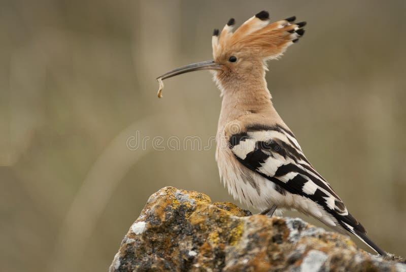 Eurasia Hoopoe or Common Hoopoe Upupa epops. With food in the beak royalty free stock photo
