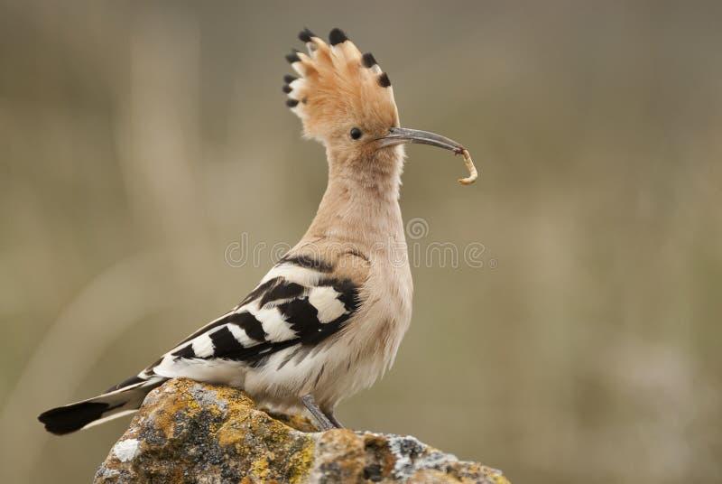 Eurasia Hoopoe or Common Hoopoe Upupa epops. With food in the beak stock photos