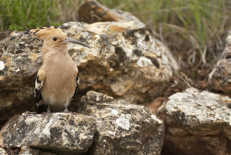 Eurasia Hoopoe or Common Hoopoe Upupa epops, perched on the rocks. Entrance to the nest royalty free stock images