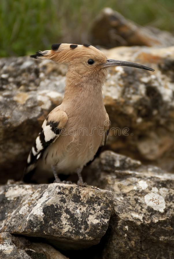 Eurasia Hoopoe or Common Hoopoe Upupa epops, perched on the rocks. Entrance to the nest royalty free stock photography
