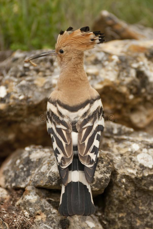 Eurasia Hoopoe or Common Hoopoe Upupa epops, perched on the rocks. Entrance to the nest stock photography