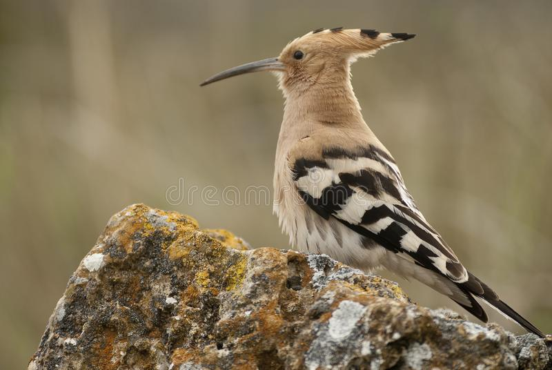 Eurasia Hoopoe or Common Hoopoe Upupa epops, perched on the rocks. Entrance to the nest royalty free stock photo
