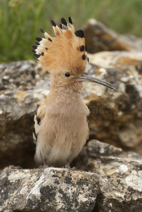 Eurasia Hoopoe or Common Hoopoe Upupa epops, perched on the rocks. Entrance to the nest stock photos