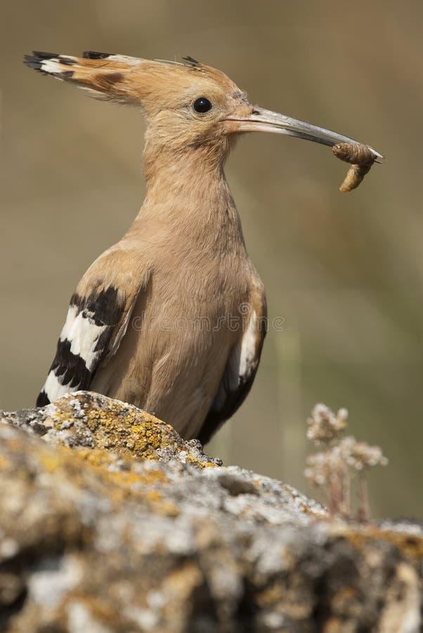 Eurasia Hoopoe or Common Hoopoe Upupa epops. With food in the beak royalty free stock images