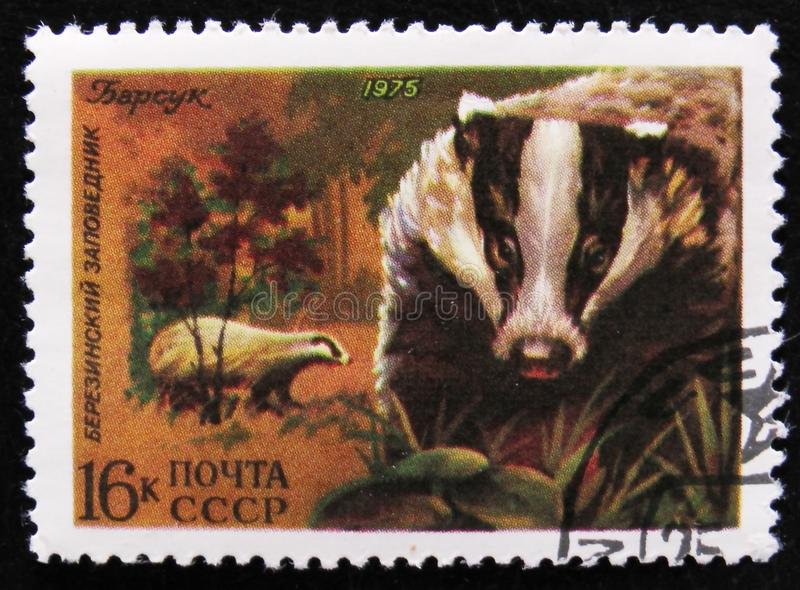 Eurasian badger in the Berezinsky Nature Reserve, circa 1975. MOSCOW, RUSSIA - APRIL 2, 2017: A post stamp printed in USSR shows Eurasian badger in the royalty free stock photo