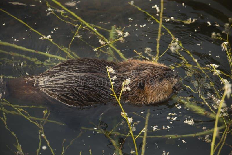 The Eurasian beaver Castor fiber. royalty free stock images
