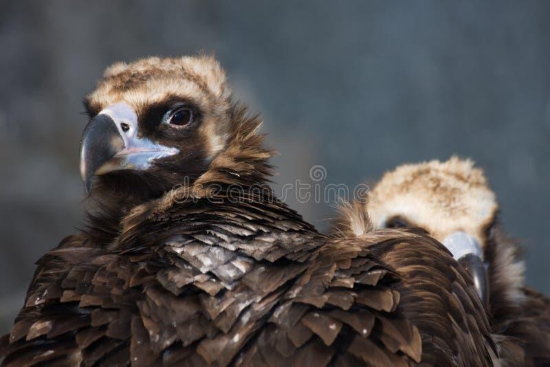 Eurasian Black Vulture (Aegypius monachus) stock photo