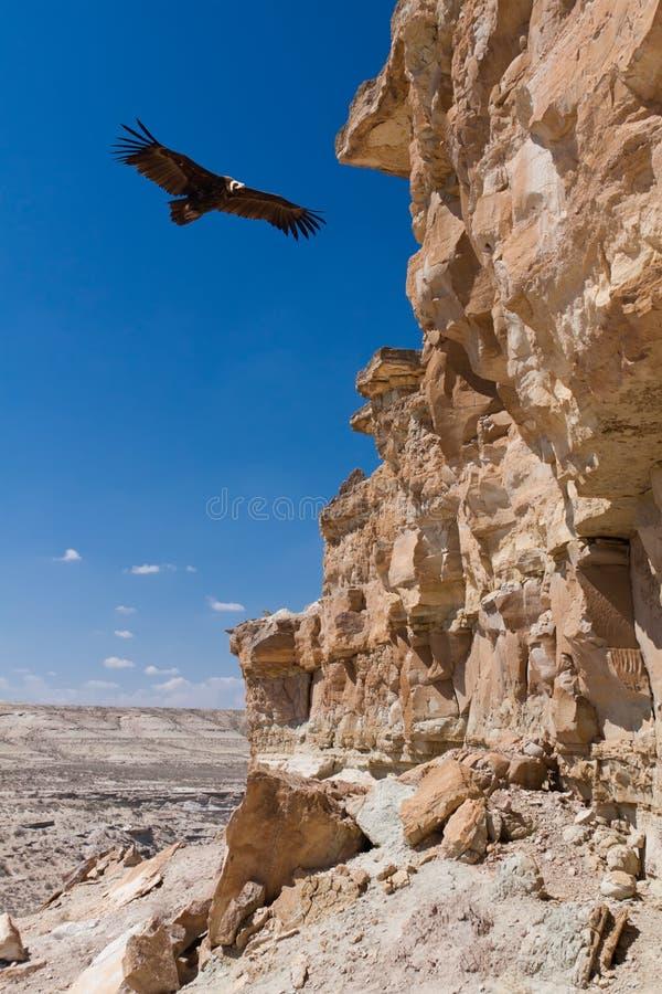 Eurasian black vulture Aegypius monachus royalty free stock images