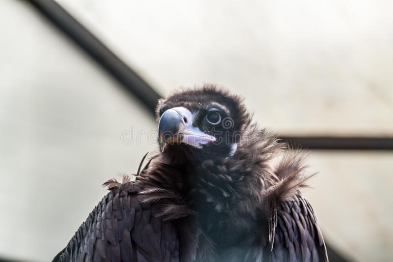 Eurasian black vulture. Close up portrait of a Eurasian black vulture stock image