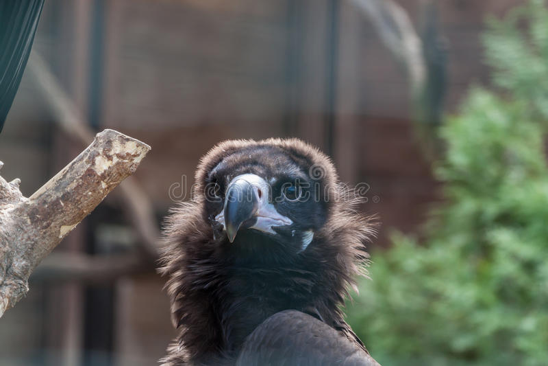 Eurasian black vulture. Close up portrait of a Eurasian black vulture stock photos