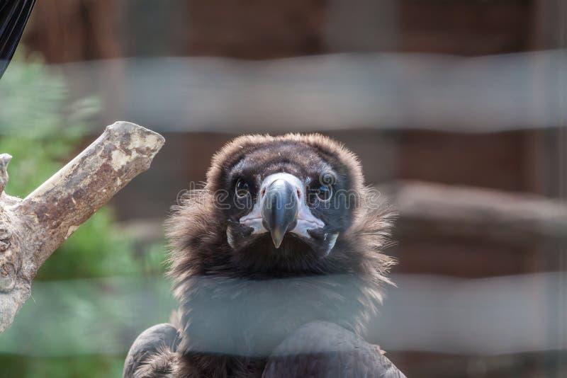 Eurasian black vulture. Close up portrait of a Eurasian black vulture royalty free stock images