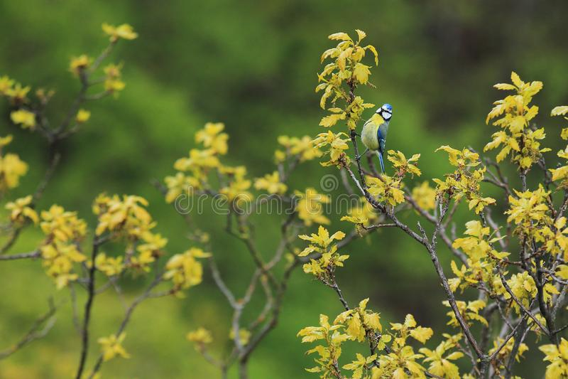 Eurasian blue tit. On the tree royalty free stock images