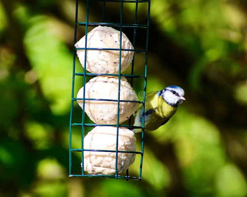 The Eurasian blue tit on a lard feeder. The Eurasian blue tit is a small passerine bird in the tit family, Paridae. It is easily recognisable by its blue and stock images
