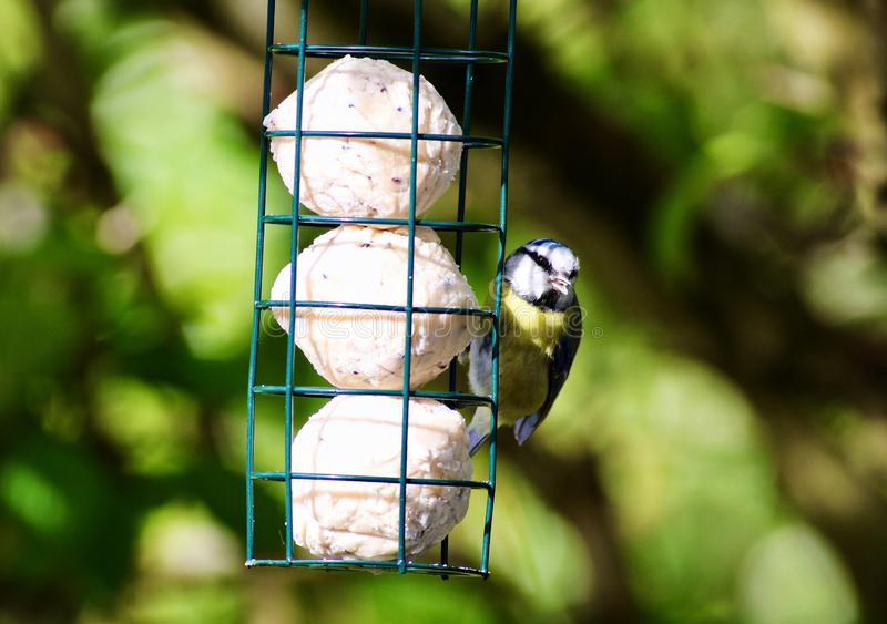 The Eurasian blue tit on a lard feeder. The Eurasian blue tit is a small passerine bird in the tit family, Paridae. It is easily recognisable by its blue and stock photo