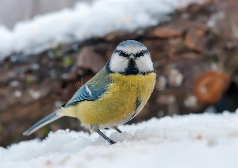 Eurasian blue tit stands with angry face portrait in snow. Eurasian blue tit posing with angry face portrait in snow stock photography