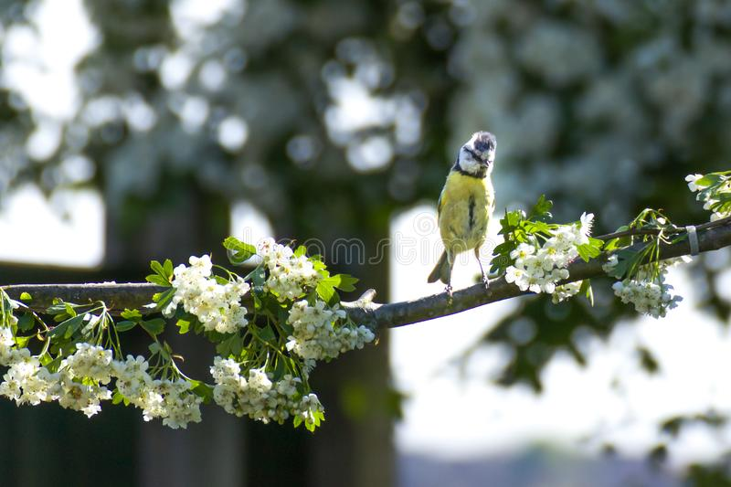 Eurasian blue tits, usually resident and non-migratory birds, royalty free stock images