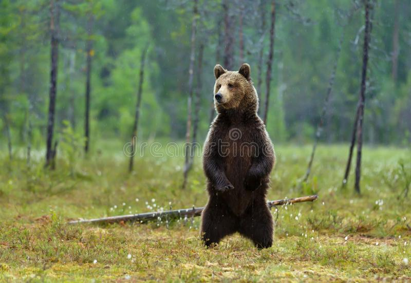 Eurasian brown bear standing on hind legs royalty free stock photo