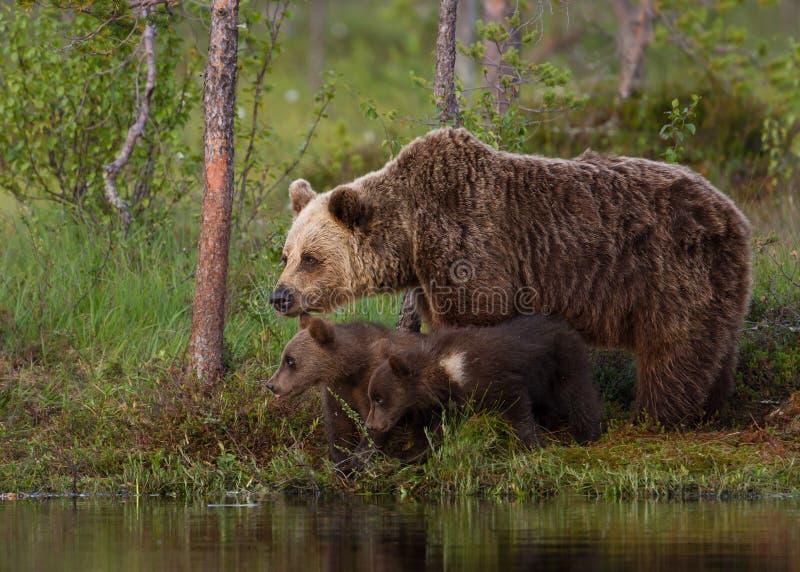 Eurasian brown bear (Ursos arctos) with cubs stock images
