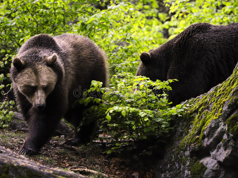 Download Eurasian brown bears stock image. Image of european, vegetation - 17759783