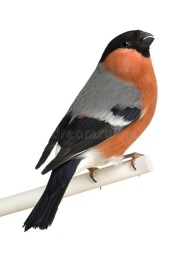 Free Eurasian Bullfinch - Pyrrhula Pyrrhula Royalty Free Stock Photography - 8555137