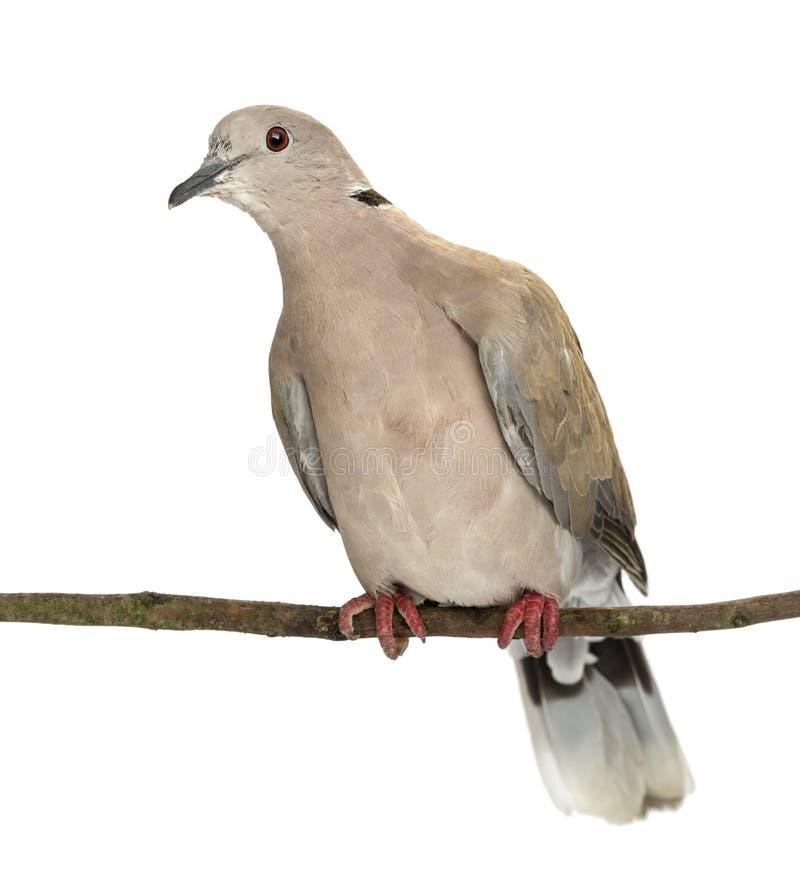 Eurasian Collared Dove ый на ветви стоковая фотография