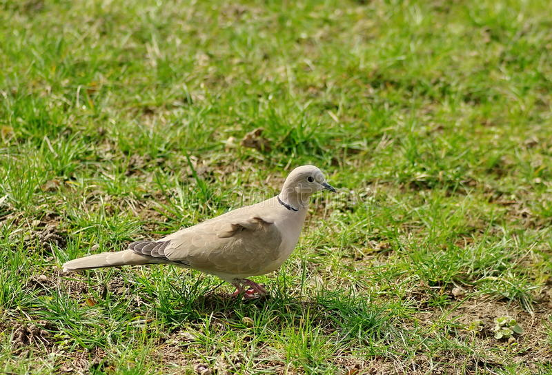 Wild bird. Eurasian collared dove. Green grass background royalty free stock photo