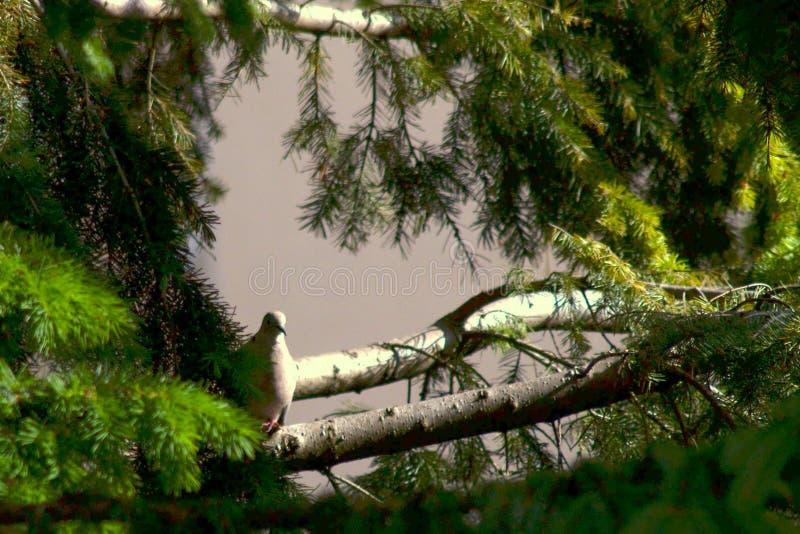 Eurasian collared dove sitting on a tree stump, Streptopelia decaocto royalty free stock photos