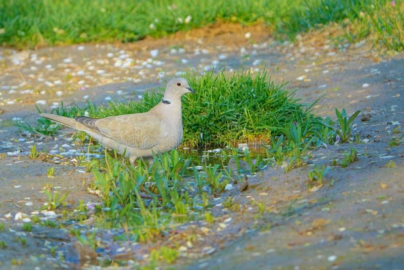 Eurasian Collared Dove royalty free stock photos