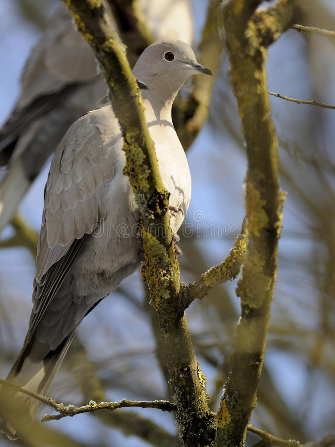 Eurasian Collared Dove (Streptopelia decaocto) royalty free stock photography
