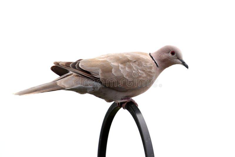 Eurasian Collared-Dove (Streptopelia decaocto) stock photo