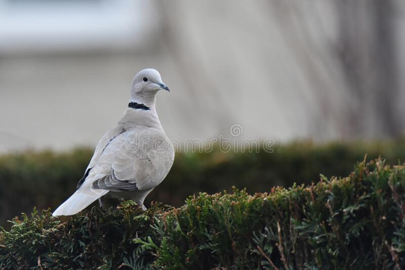Eurasian collared dove Streptopelia decaocto sitting on a hedge royalty free stock images